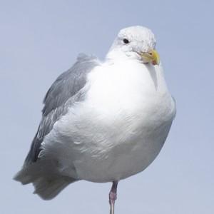 sw_seagulls